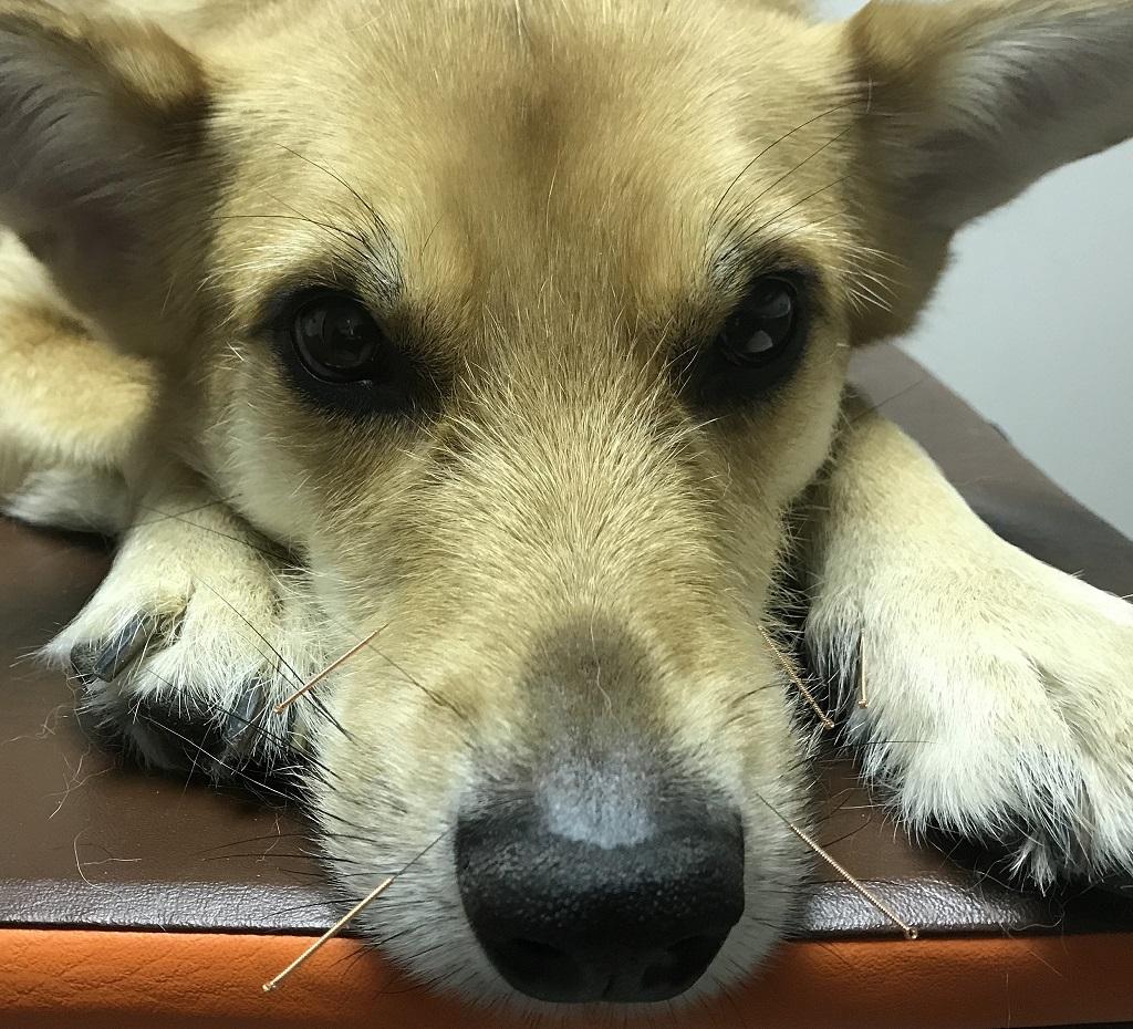 Pies buldog z wbitymi w grzbiet igłami akupunktury